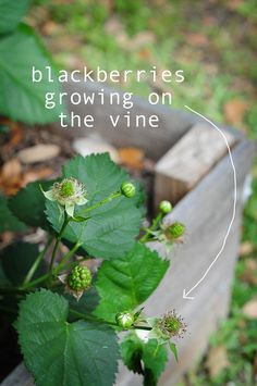 yahoo! I'm growing blackberries! you can too, click link to see how. it's fun! cobbler recipe coming