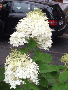 Hydrangea paniculata à Neuilly-sur-Seine (92)