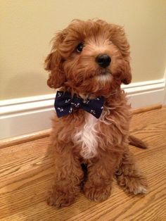 Baby doodle in bow ties are the best :)
