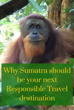 There are places in Sumatra which hold some of the world's highest concentration of biodiversity. Here you will find Orang-utans, Elephants, Tigers and many more, all fighting for their protection. Put Sumatra on your bucket list, visit the jungle and learn about conservation efforts. #responsibletravel