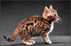 Bébé chat du Bengal