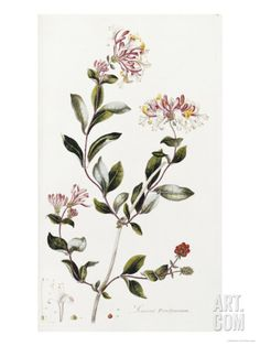 A Colour Plate from Curtis' Flora Londinesis Art Print by William Curtis at Art.com