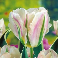 Tulip viridiflora 'China Town' - long-flowering