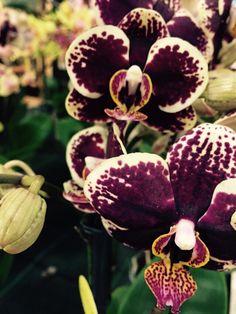 Mostra delle orchidee