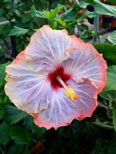 Tahitian Hibiscus Tahitian Prince