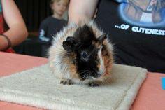 Fuzzy guinea pig