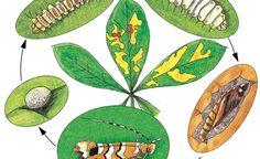 Der Lebenszyklus der Miniermotte vom Ei bis zum erwachsenen Insekt