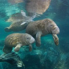 More manatees to make you smile. #HappyMonday