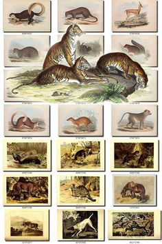 MAMMALS-45 Collection of 185 vintage images animals Tigers  Panther, Pectinator Spekei, Perameles Gunnii, Perameles Lagotis, Petaurus Australis Petaurus, Petaurus Pygmaeus, Petaurus Taguanoides, Phalanger Grisonnant, Phalanger of Cook, Phalangista Nana, Pithecia Rufigaster, Proboscis Monkey, Procapra Przewalskii Cuvieri, Pseudalopex Fulvipes Lagopus, Pudu Puda Humilis, Quebec Marmot, Rata Guira or Fischer