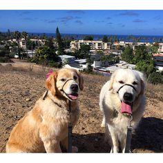Beautiful day for a hike down the La Jolla Bike Path with Bernini and Samantha! #zendogsberniniandsamantha #dogzen #dogzenergy #dogsofinstagram #pup #cute #dogs #goldenretriever #golden #lajolla #sunny #sandiego