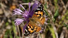 https://flic.kr/s/aHskkevp7m | Schmetterlinge / butterfly