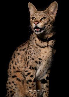F1 Savannah Cat Cat Savannahcat Feline Savannah Cat Savannah