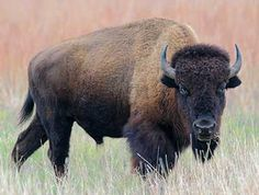There are literally Bison every 20 feet