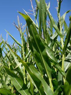 Norges Miljøvernforbund har gått imot omsetning av den genmodifiserte maishybriden DAS-40278-9 Enlist™ Maize. - GMO - TRYGG MAT - Norges Miljøvernforbund Oppdrett Vindkraft Energi - nmf