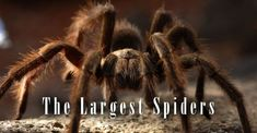 The largest spiders – Top 10