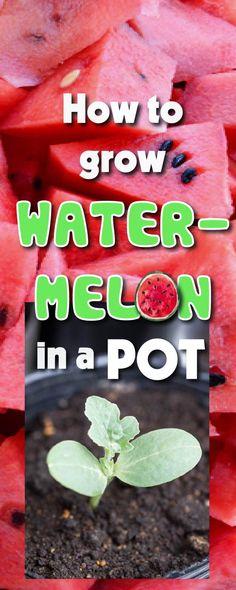 how to grow watermelon in a pot #gardening #garden #growyourmint