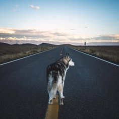 Wolf Husky, Husky Husky, Loki, Types Of Dogs, Alaskan Malamute, Puppy Love, Dog Training, Cute Dogs, Kittens