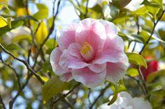 Most Fragrant Camellias, Fragrant Camellias, Camellia Lutchuensis, Camellia hybrids,