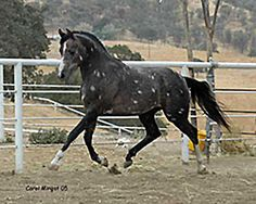 A grey Arabian gelding (Aul Magic +/ x Aur Silver Myst) with tetrarch/chubari spots. His sire has produced other foals with these markings. Photo courtesy of Legendary Arabians colorgenetics.info