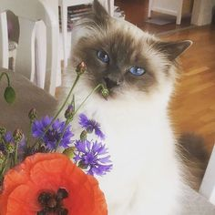 Today we celebrate Midsummer's Eve in Sweden. Handsome bluepoint Harry @_katten_harry_ is enjoying the midsummer flowers. We wish a great Midsummer's Eve to all of our fantastic birmavänner! #birmans #birman #sacredbirman #heligbirma #birmania #birmanie #pyhäbirma #instabirmans #birmansofinstagram #blueeyes #whitecats #fluffycats #instacats #catsofinstagram #cats #kittens #instakittens #kittensofinstagram #lovecats #birmavanner #tabbycats #toocute #beautifulcats #excellentcats #tortiecats…