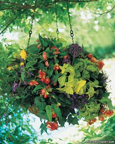 This moss-lined hanging basket is planted with tuberous begonia, heliotrope 'Mini-Marine,' streptocarpus, coleus 'Golden Wizard,' and lobelia 'Blue Cascade,' with some trailing ivy thrown in for good measure.