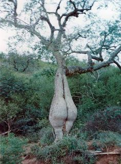 """Image may contain: tree, plant, outdoor and nature From Tree Spirit Weavers """"I know its a bit cheeky"""" Weird Trees, Wow Photo, Dame Nature, Tree People, Unique Trees, Old Trees, Tree Trunks, Tree Shapes, Tree Sculpture"""