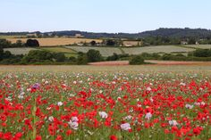 Poppies near Tisbury (C)VisitWiltshire/Chris Lock Tourist Information, England And Scotland, Stonehenge, Wild Flowers, Poppies, Natural Beauty, Things To Do, Tourism, Beautiful Places