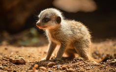 Baby meerkat  #zooborns