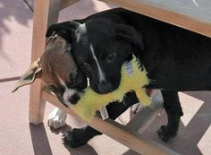 Badger the Mixed Breed puppy (black) - sweet pair