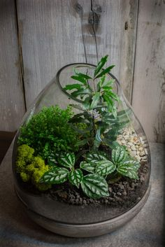 Terrarium by me with galaxy aralia, aluminum pilea and baby's tears. black lava rock, white gravel and decorative reindeer moss.