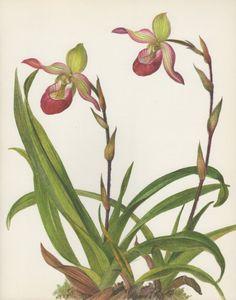 Phragmipedium Sedenii Orchid 1970 Vintage Botanical by Craftissimo