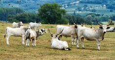 Hungarian bulls - Beautiful Hungarian grey bulls in the field