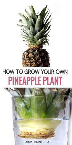 Have you ever thrown out a pineapple crown? Next time, keep it. You can grow a new plant from it! Find out how to care and propagate your plant to keep it healthy and thriving. Planting Pineapple Top, Pineapple Plant Care, Snake Plant Care, House Plant Care, Mother Plant, Replant, Edible Plants, Grow Your Own, Indoor Plants