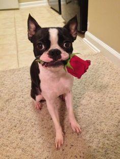 I got you a rose! ❤❤❤ from: http://bostonterrierworld.com/i-got-you-a-rose/