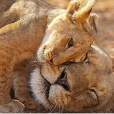 Wonderful Photo big cats and kittens Thoughts Whenever you bring a different kitten straight into your own home, regarded as exhilarating time frame, and f Animals And Pets, Baby Animals, Cute Animals, Animals And Their Babies, Wild Animals, Beautiful Cats, Animals Beautiful, Beautiful Pictures, Big Cats