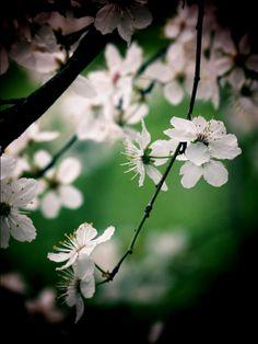 Central Otago blossom. by Lori Tuiavi'i Maxwell