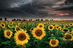 sunflowers in the storm