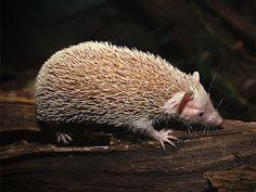Lesser hedgehog tenrec (Echinops telfairi) é uma espécie de tenreco endêmico de Madagascar, onde pode ser encontrada nas porções sul e sudoeste. É a única espécie do gênero Echinops.