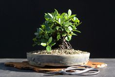 Bonsai ficus retusa Bonsai Ficus Ginseng, Mame Bonsai, Indoor Plants, Planting Plants, Inside Plants