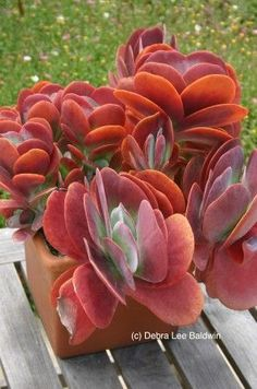ECHEVERIA 'Magic Red' An attractive succulent with a fleshy rosette of bright red leaves which deepens as the summer progresses. Max Height Max Spread Flowers April to May. Sempervivum, Echeveria, Crassula Succulent, Succulent Gardening, Planting Succulents, Container Gardening, Planting Flowers, Succulent Plants, Succulent Containers