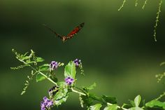 gulf fritillary arriving for lunch by klbarr, via Flickr