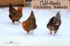 20 Cold-Hardy Chicken Breeds on Fresh Eggs Types Of Chickens, Raising Chickens, Chicken Breeds, Chicken Types, Chicken Life, Chicken Coops, Hobby Farms, Chickens Backyard, Hens