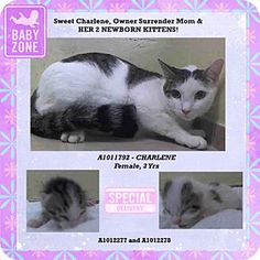Oyster Bay, NY - Patricia H. LADEW Foundation, Domestic Shorthair. Meet CHARLENE, (BABIES ADOPTED,), Rescued From NYC ACC, a cat for adoption. http://www.adoptapet.com/pet/12373899-oyster-bay-new-york-cat
