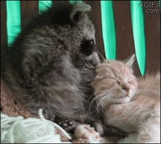 A raccoon apologizes to his kitten friend after accidentally biting it's ear too hard