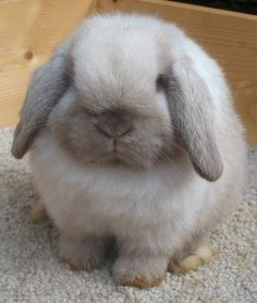 Holland Lop Does | Bunny Lops