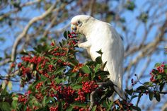 Little Corella (Cacatua sanguinea) a bird feeding in the morning