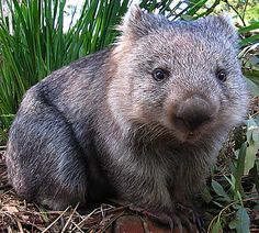 Prized for its poo: A wombat sits in the Tasmanian scrub. Wombat droppings are shaped like a cube (with rounded edges). This is how they mark their territory - even in the hilliest terrain, the poo stays put! Cute Wombat, Animal Pictures, Cute Pictures, Baby Animals, Cute Animals, The Wombats, Baby Sloth, Australian Animals, Animal Facts