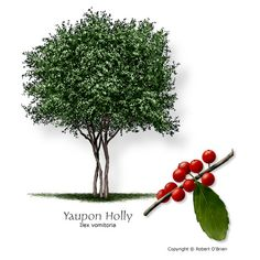 Yaupon holly... south corner, front of house.  And maybe NW corner inside front flower bed (by the small window)