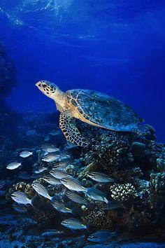 Big sea turle underwater By Sokol Underwater Animals, Underwater Sea, Wild Creatures, Ocean Creatures, Sea Turtle Pictures, Animals And Pets, Cute Animals, Cute Turtles, Sea Turtles
