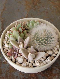 Cactus pot with white rocks Succulent Bowls, Succulent Gardening, Succulent Terrarium, Terrariums, Planting Succulents, Cactus Pot, Colorful Succulents, Different Textures, Air Plants
